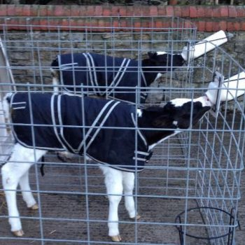 Calves in Calf Jackets Feeding from Fence Attached Bottles