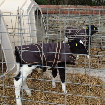 Calf in Hutch with Jacket