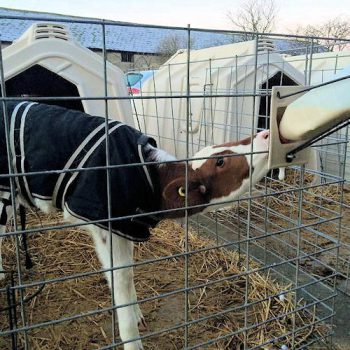 Calf in jacket with fence attached feeding bottle