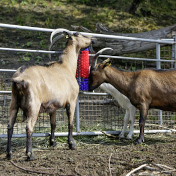 Goats Using Fence Mounted Scratching Brush